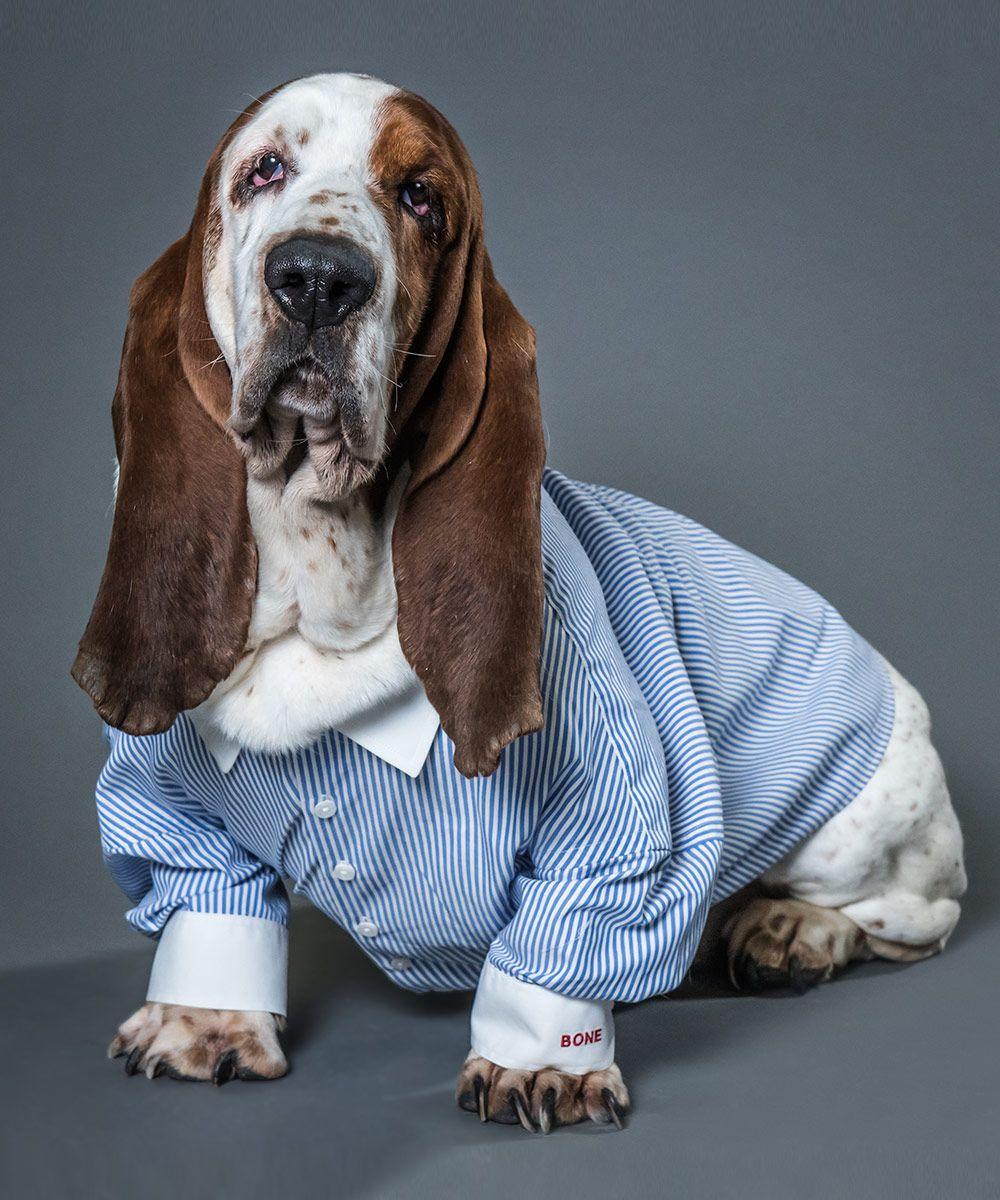 Adult basset hounds