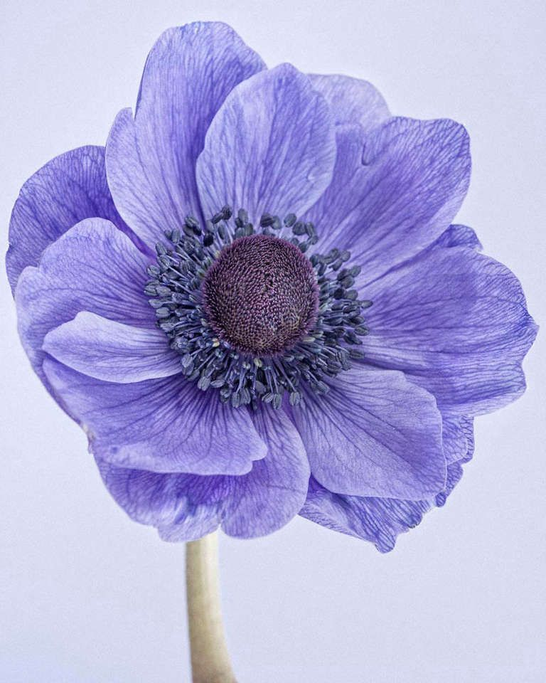 For sale on 1stdibs poppy anemone i archival pigment