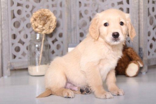 Golden Retriever Puppy For Sale In Mount Vernon Oh Usa Adn