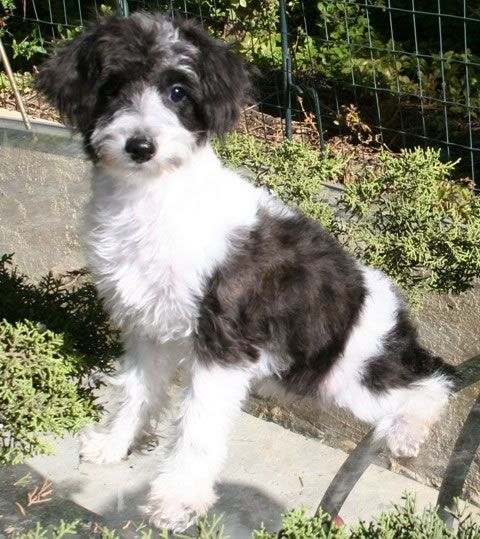 Snoodle Schnoodles Schnoodles Puppies For Sale Designer Dogs