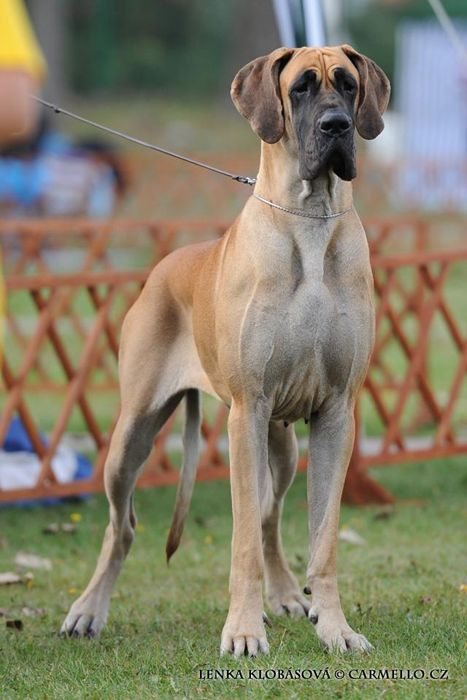 fawn great dane other beautiful dogs pinterest gran