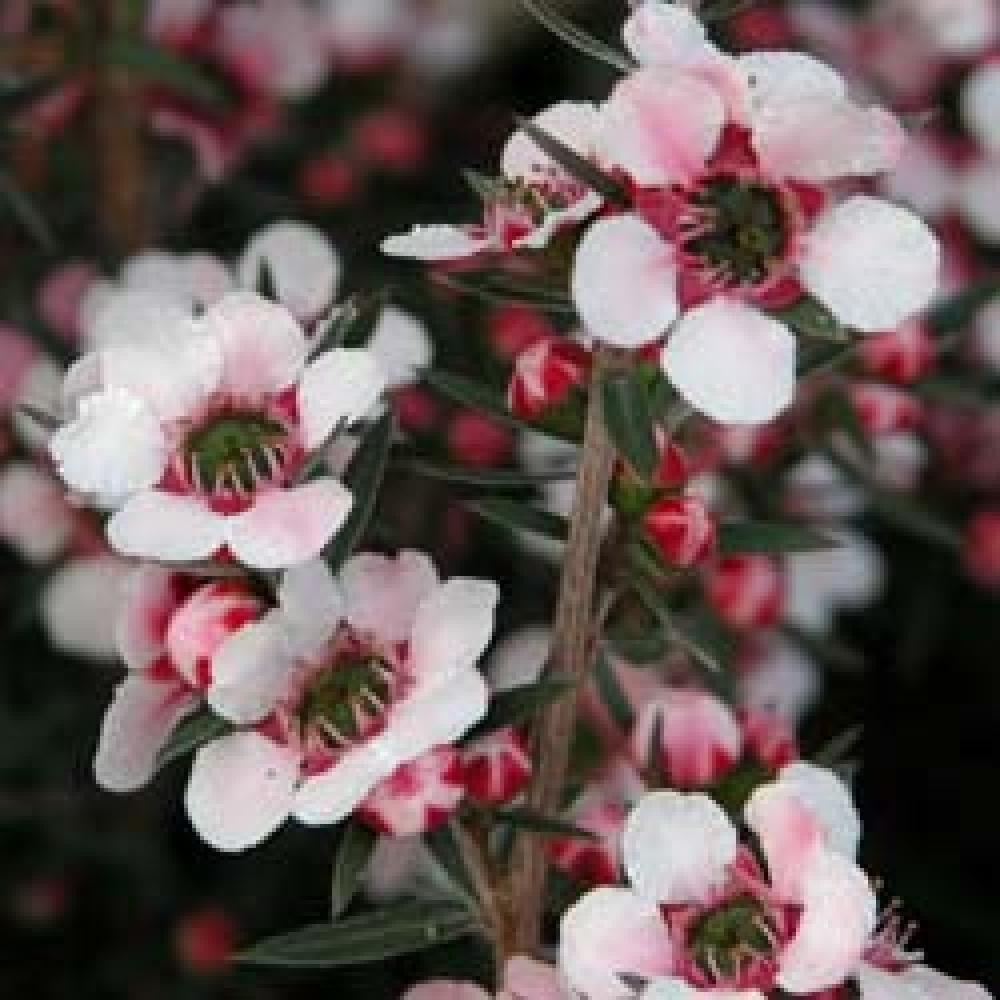 Leptospernum Scoparium Martinii Leptospermum Rose Pepinieres