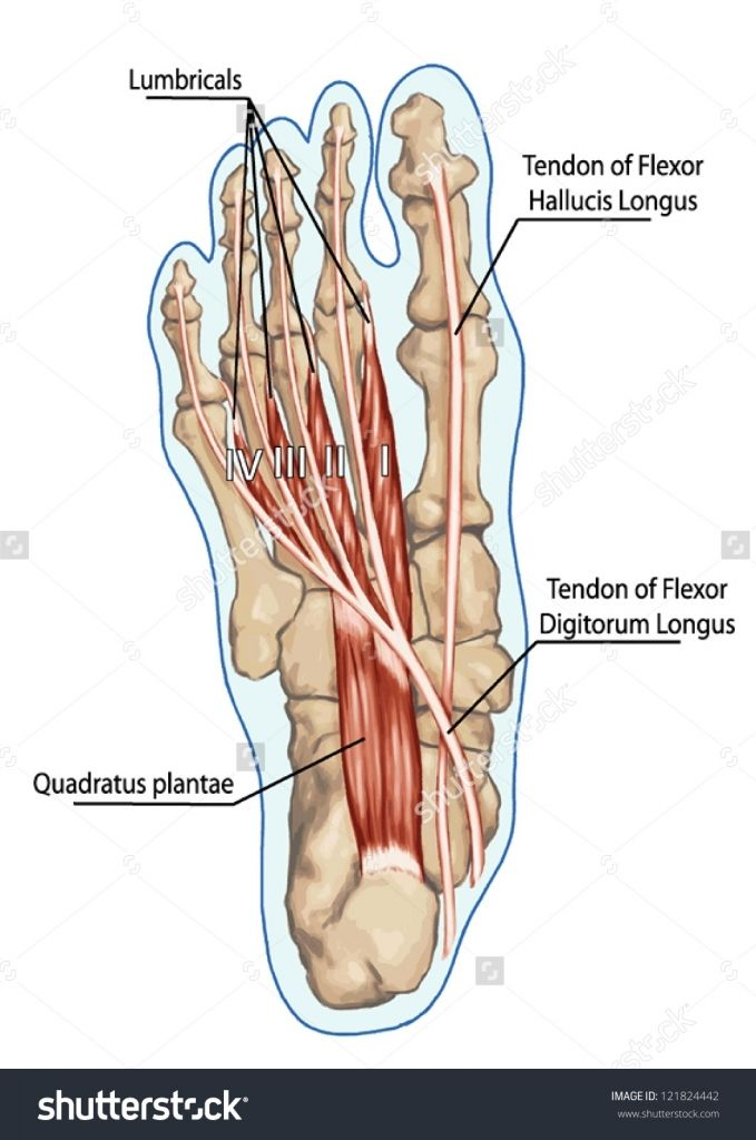 Anatomy Of Leg And Foot Lubricals Anatomy Of Leg And Foot Human ...