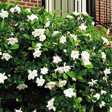 25 sch ne gardenien ideen auf pinterest gardenia blumen fotos gardenie busch und wei e rosen. Black Bedroom Furniture Sets. Home Design Ideas