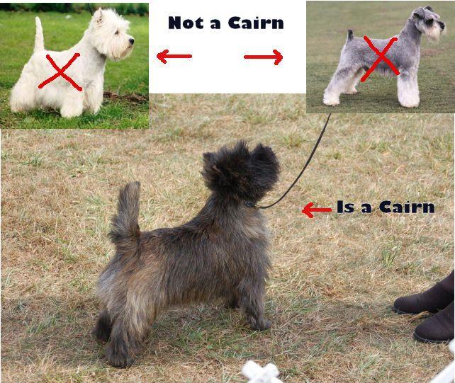 Isaidcairn Jpg Cairn Terrier Groomer Pup