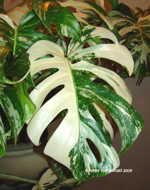 View Picture Of Split Leaf Philodendron Plants Philodendron
