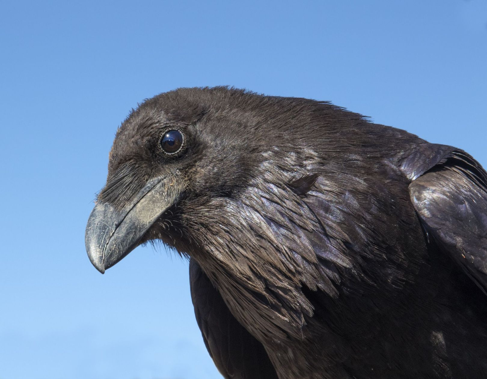 Calculating, plotting ravens make plans for their future