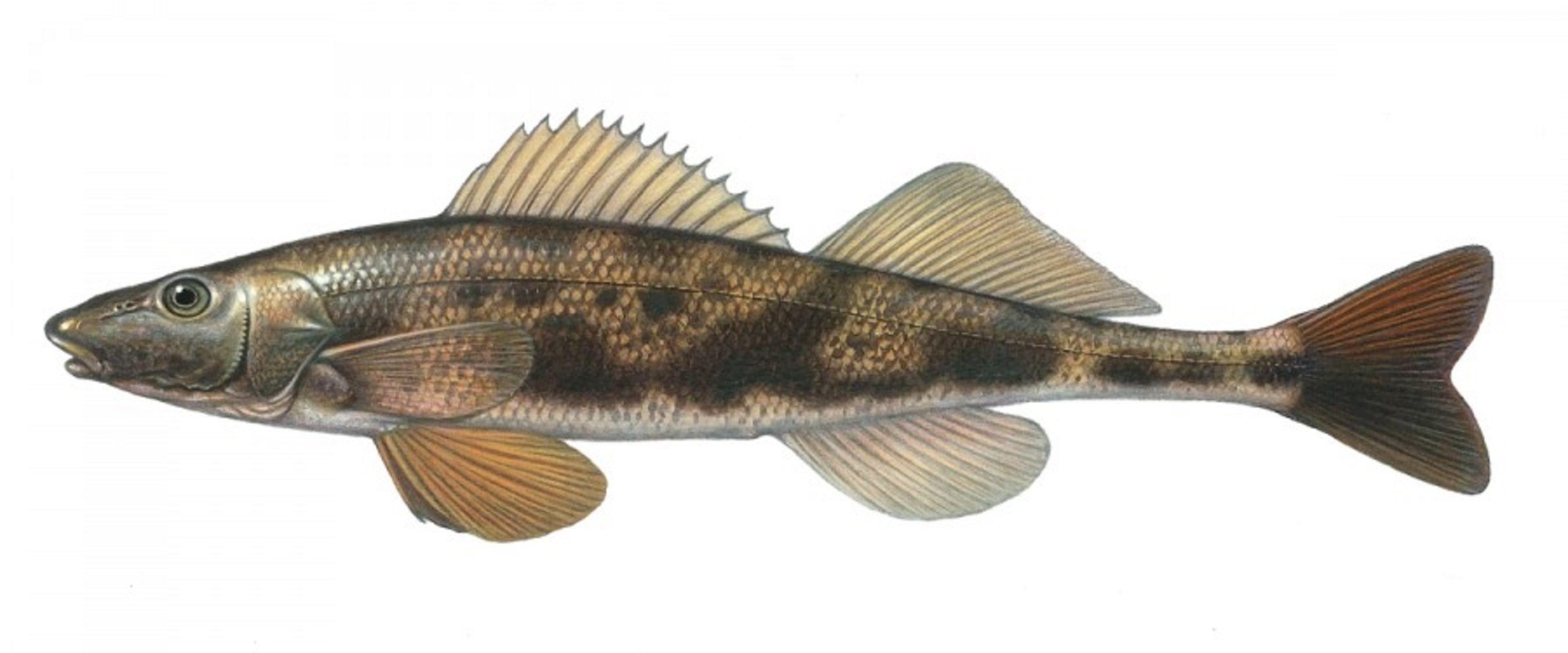 Freshwater fish meaning - Art Illustration Lakes Freshwater Fish Zingel Is A Genus Of Fish