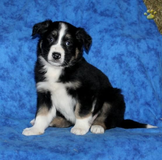 Terry Border Collie Puppy For Sale In Denver Pa Lancaster