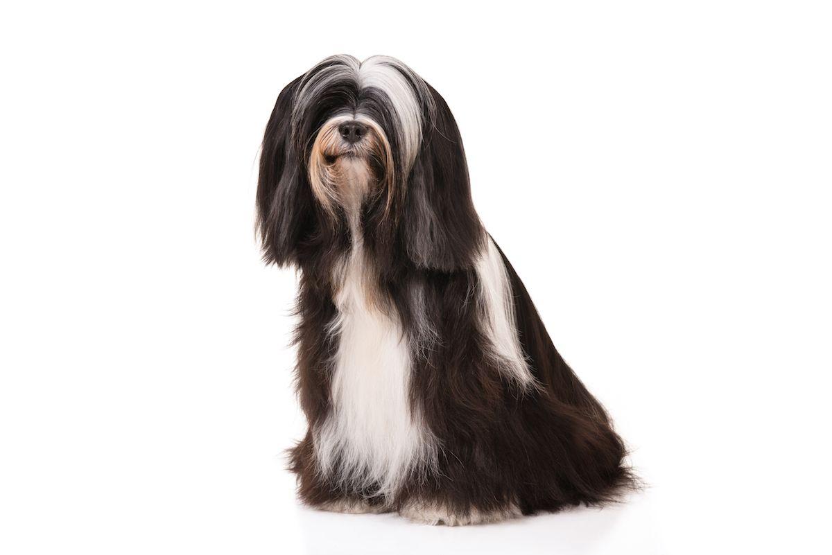 Tibetan Terrier Dog Breed Information Tibetan Terrier Dog Breeds Terrier Dog Breeds