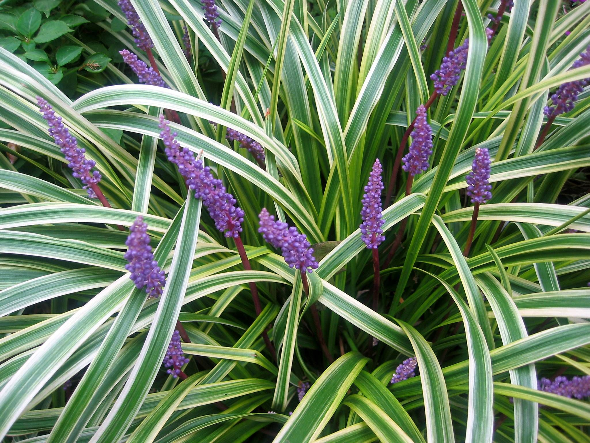 Grass or ground cover liriope plants ground covering for Short variegated grass