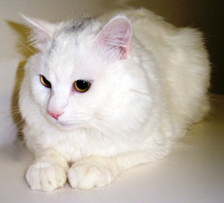 """Photo """"Hypoallergenic"""" Cats For Sale, U.S. Firm Announces"""