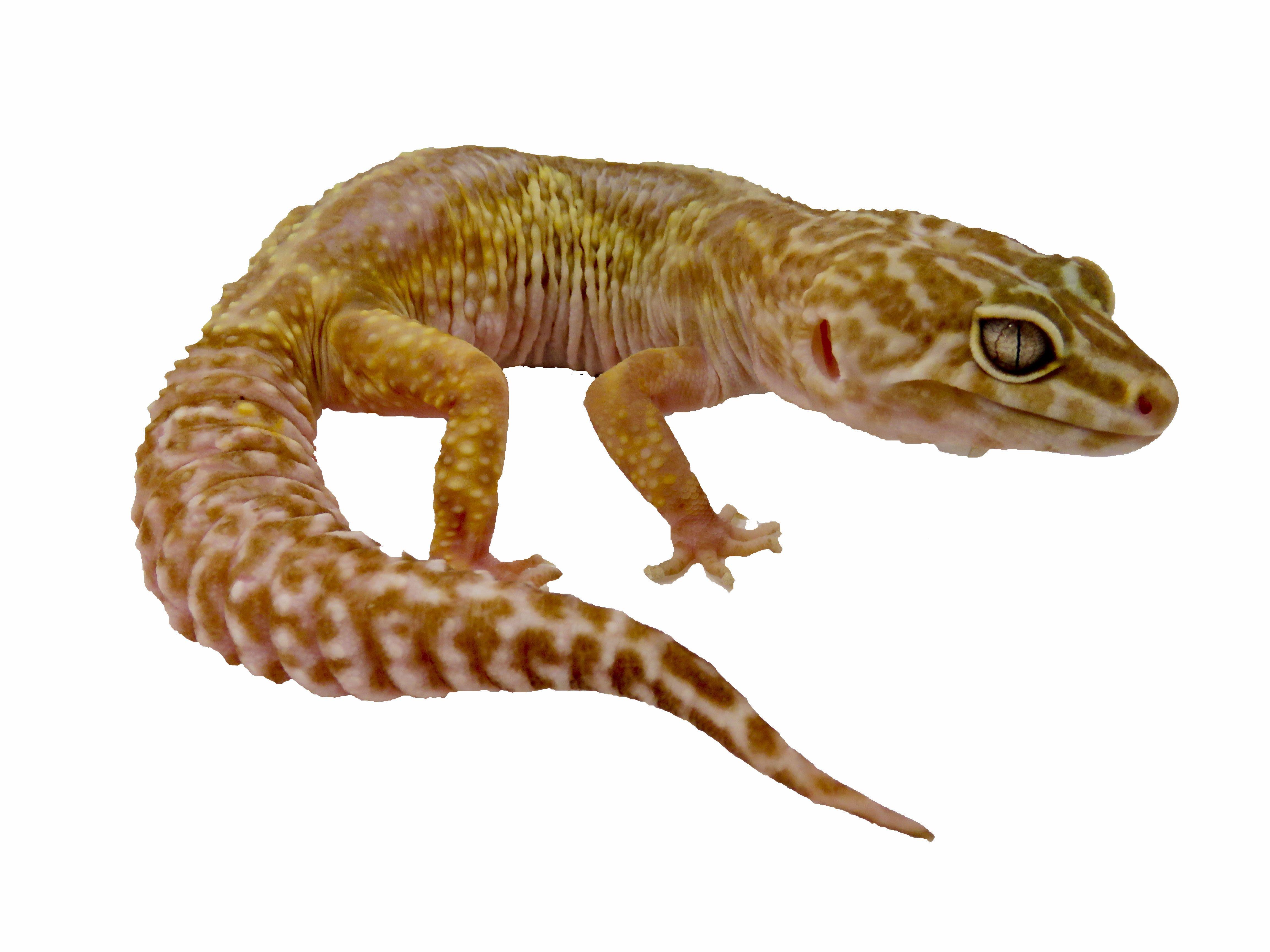 Female Mack Snow Bell Albino Leopard Gecko Please Don T Use