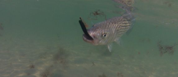 Tips for striped bass fishing