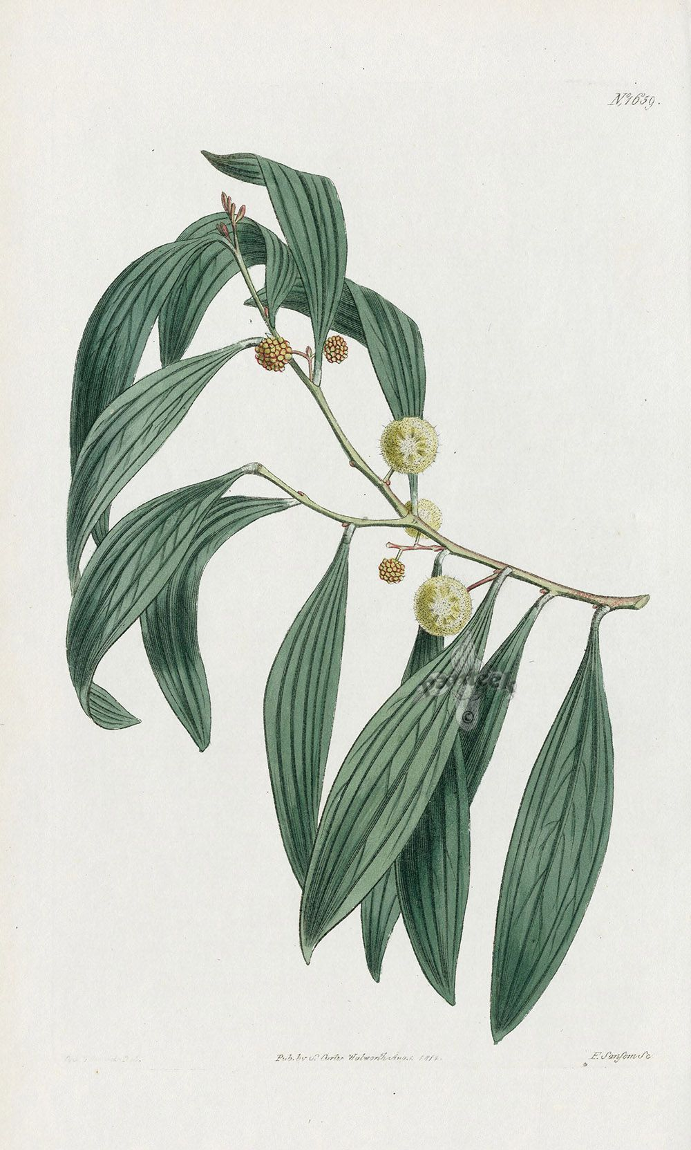 Acacia Melanoxylon from Historical botanical drawings of Australian plants