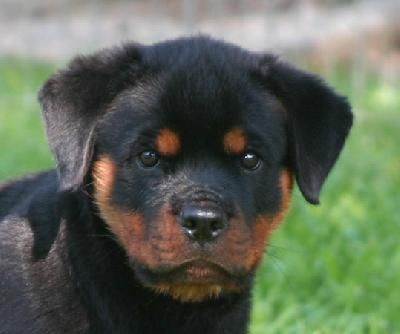 Rottweiler Dog Photo Looking For Some Quick Rottweiler Dog Facts