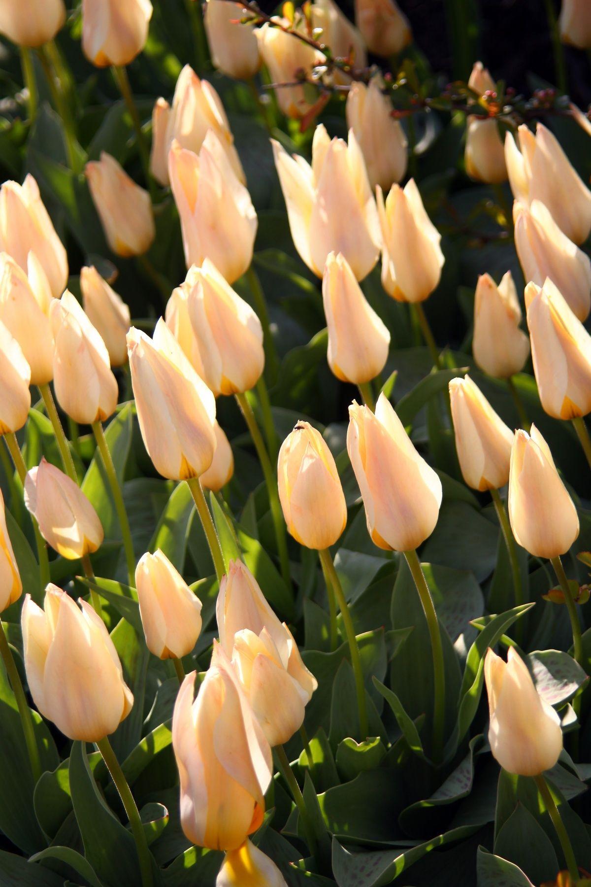 Faszinierend Welche Blumen Blühen Im März Sammlung Von Glade-beige-tulips-1244208417_22.jpg (1200×1800)