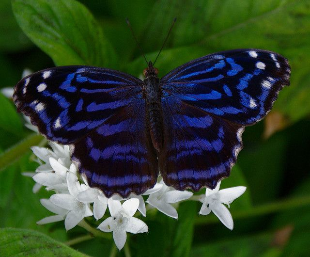 Mexican Blue Butterfly.  I would like to go where I can see this in person.