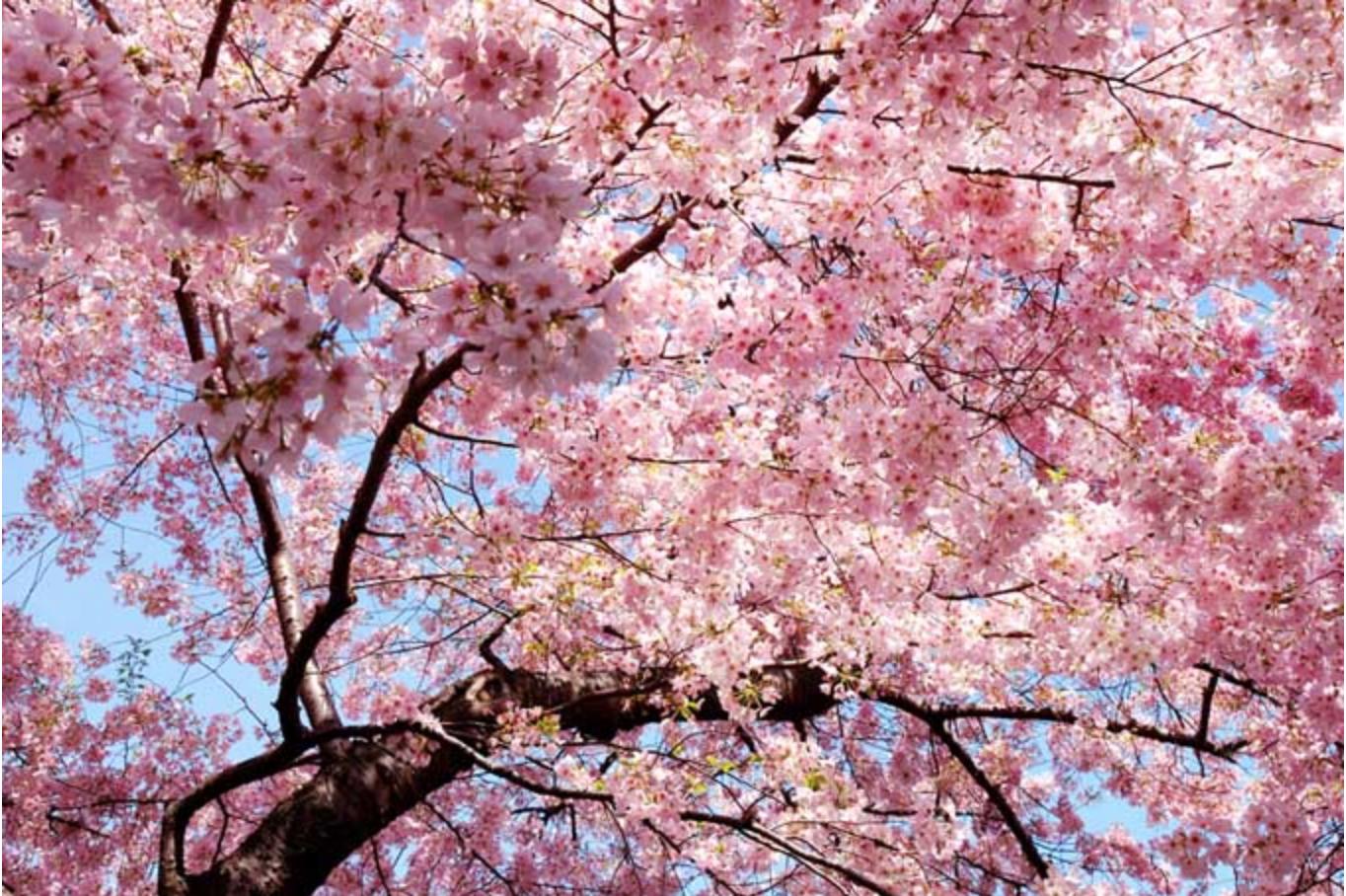 Pin By Heather Lenkin On Sarosi Cherry Blossom Background Cherry Blossom Tree Landscape Trees