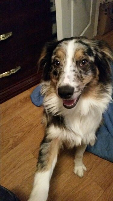 Mornings With Ares Aussie Dogs Pretty Dogs Australian Shepherd