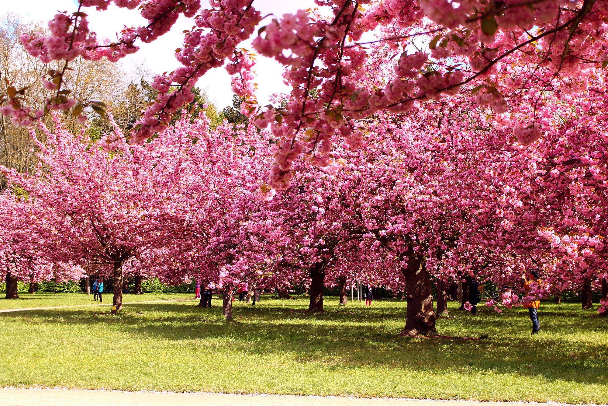 Cherry Blossom Paris Parc De Sceaux The Glittering Unknown Paris Flowers Cherry Blossom Paris In April