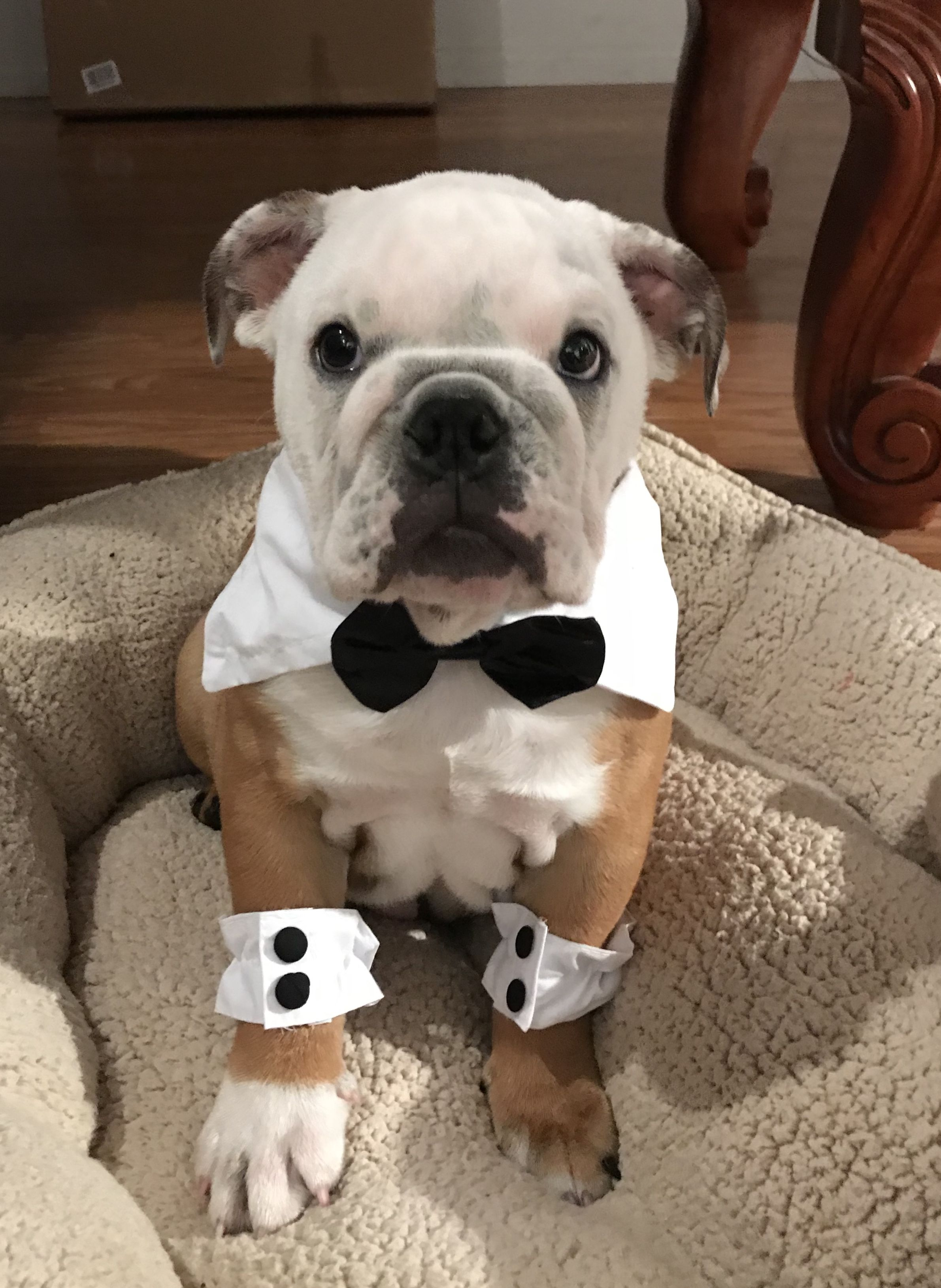 Hammy The English Bulldog With His Bow Tie Instagram