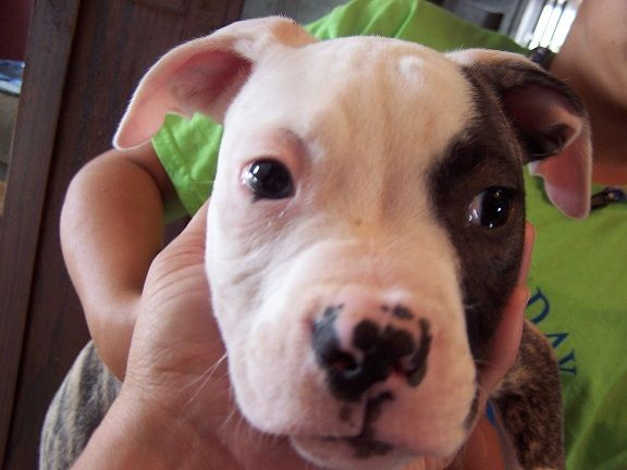 Male 4 American Bulldog Puppies Bulldog Puppies For Sale Animals Friends