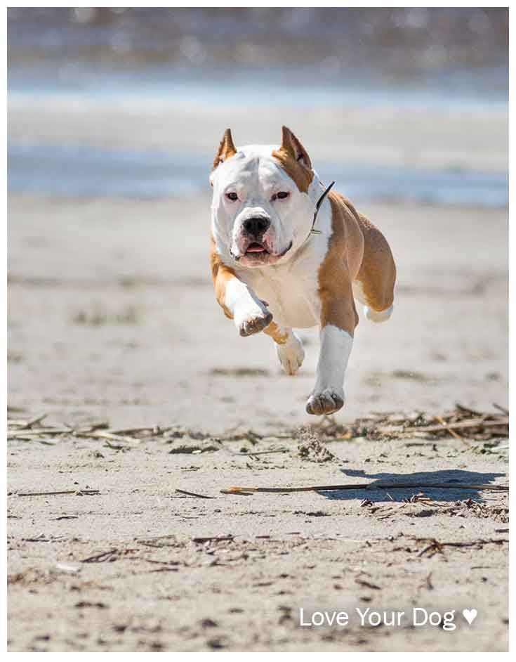 pin by tilting head on pit bulls pinterest dog breeds dogs and