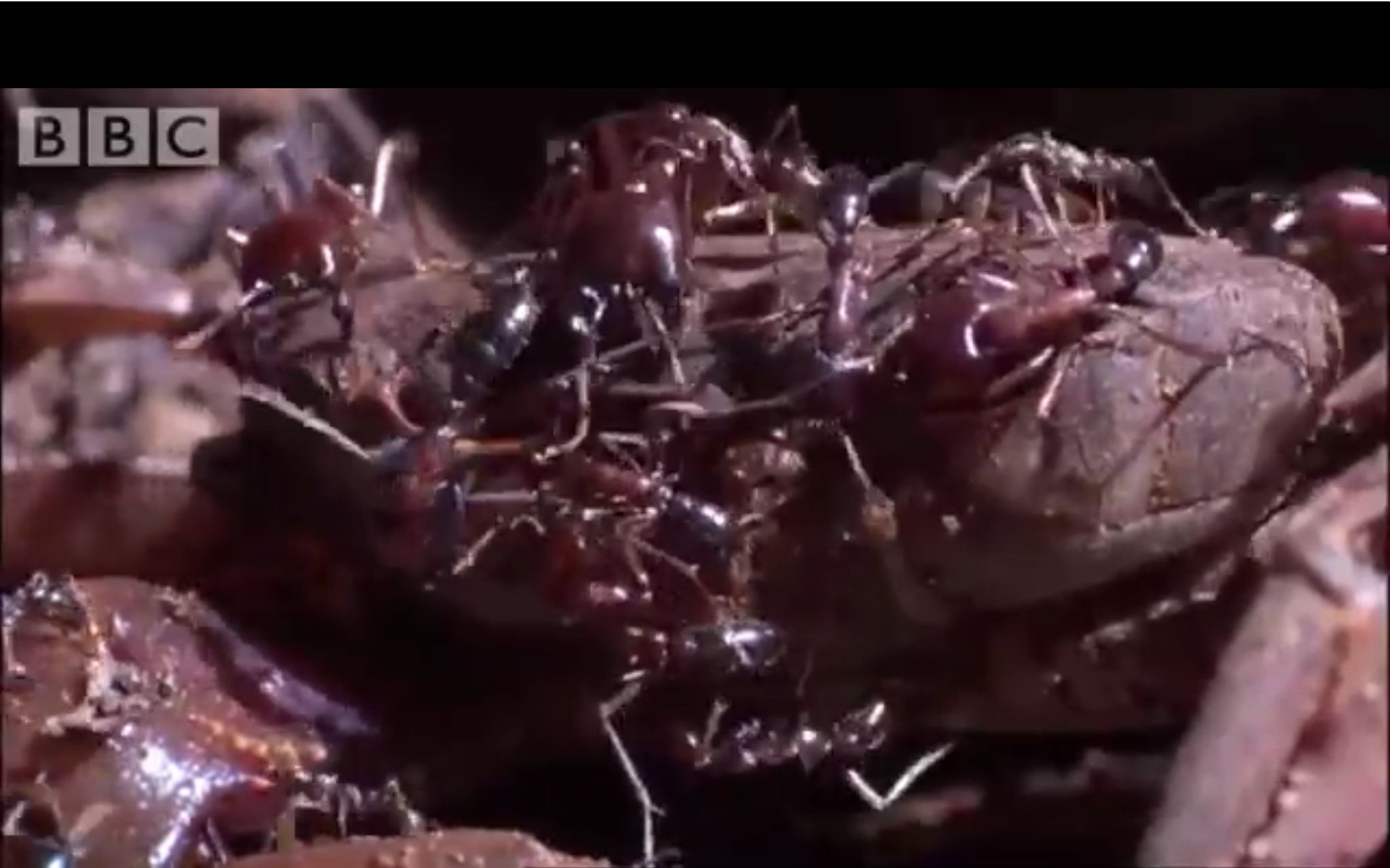 Ants vs crabs a surprising winner ant attack bbc