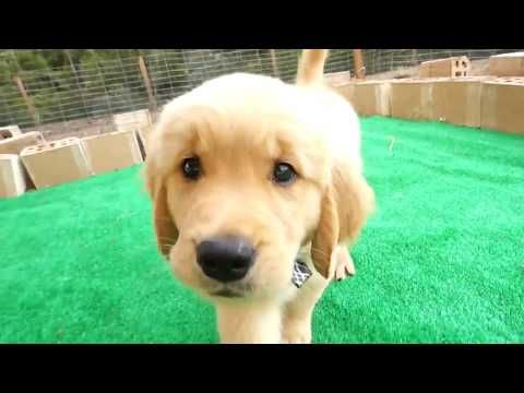 Susse Golden Retriever Welpen Video Oktober 2017 New Vol 3 Hd