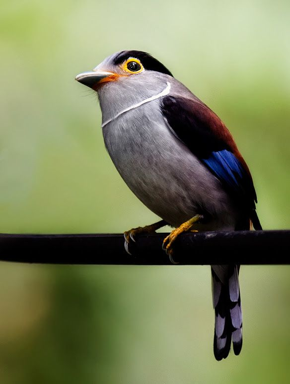 Silver Breasted Female Broadbill Location Bukit Tinggi Pet Birds Beautiful Birds Pretty Birds