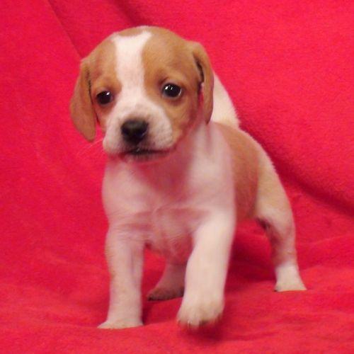 Queen Elizabeth Pocket Beagle Pocket Beagle Cute Beagles Cute