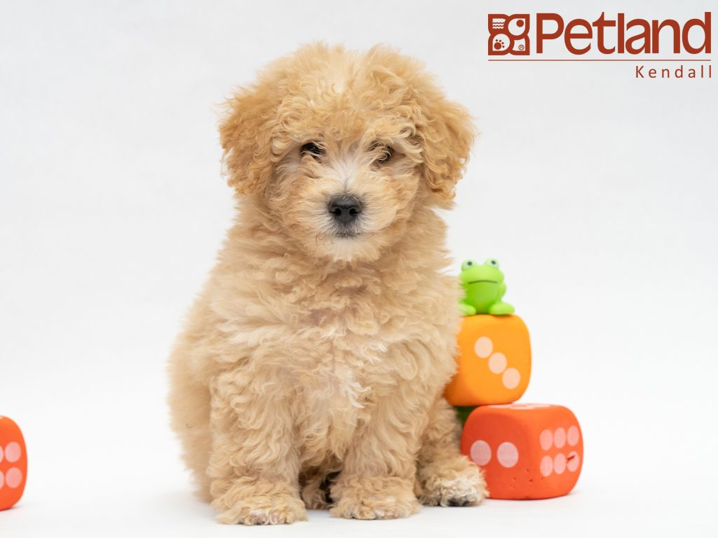 Petland Florida Has Maltipoo Puppies For Sale Interested In