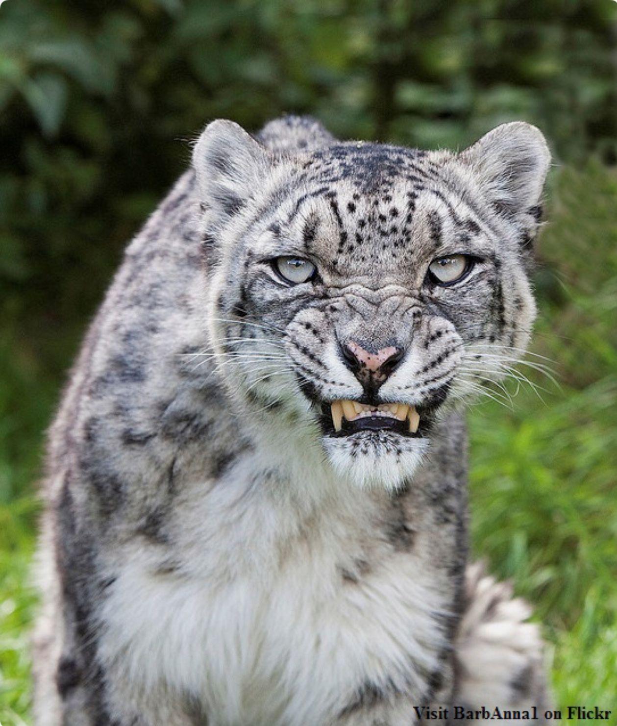 Growling Snow Leopard Animals Wild Big Cats Animals Beautiful
