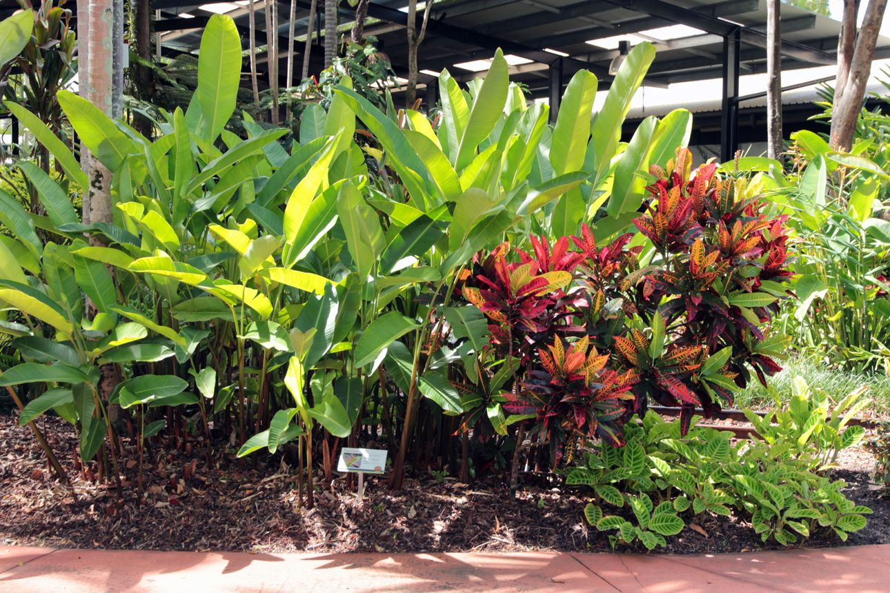 Heliconia Papsiana Croton And Calathea Sp Ginger Factory