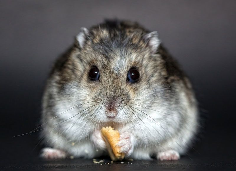 What is a Dwarf Hamster's Lifespan? How long do they live
