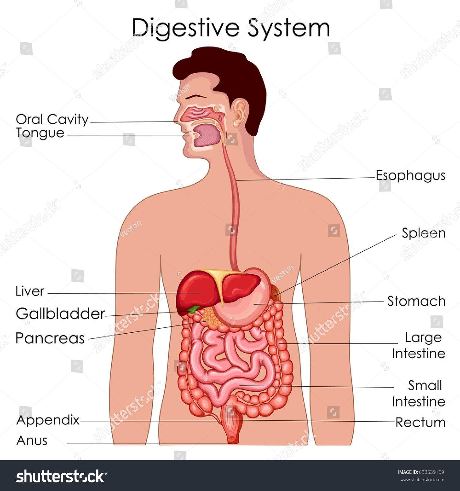 Human Anatomy Appendix Human Body Anatomy Human Body Anatomy
