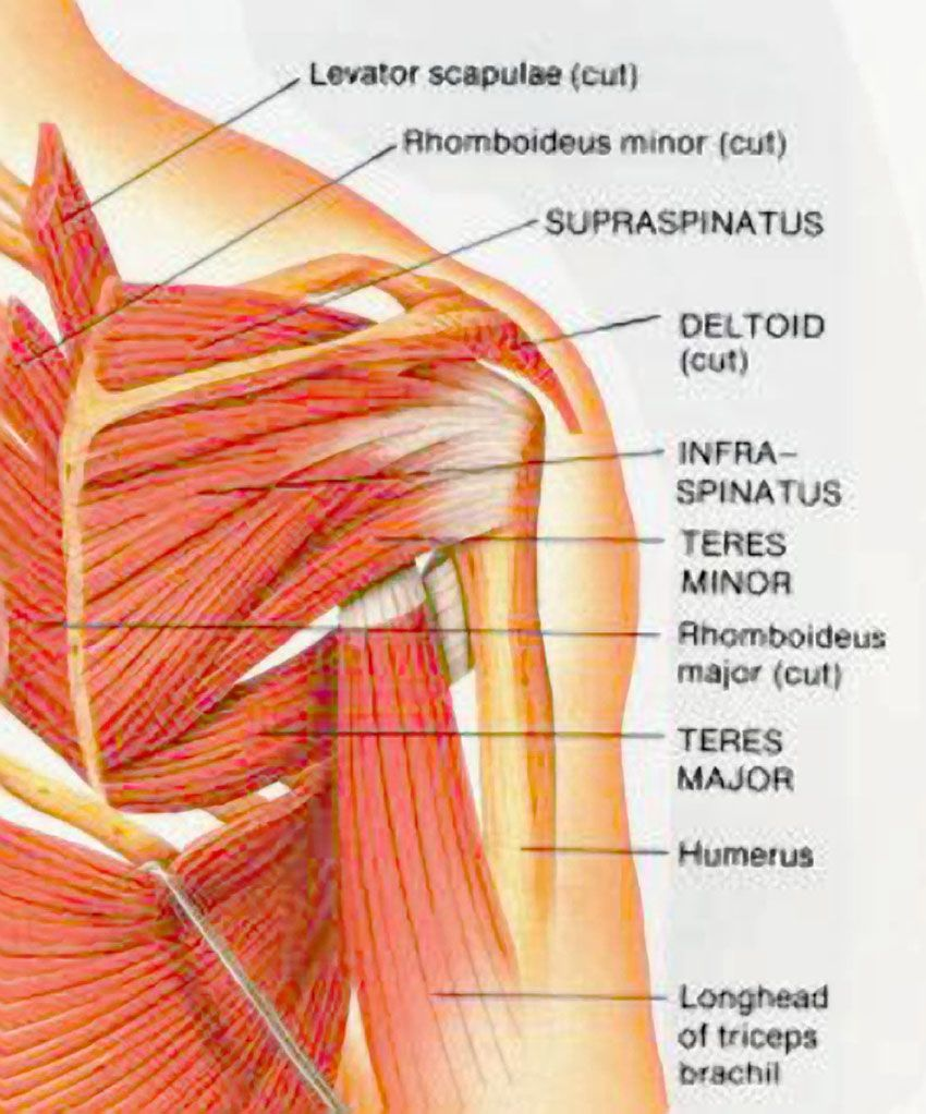 Posterior Shoulder Anatomy Diagram Human Anatomy Study Pinterest