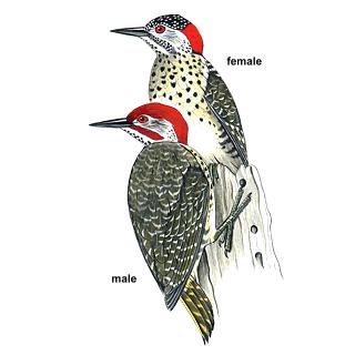 Speckle-throated Woodpecker Campethera scriptoricauda - Google Search