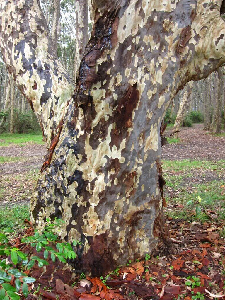 Corymbia (previuosly Eucalyptus) maculata Spotted Gum