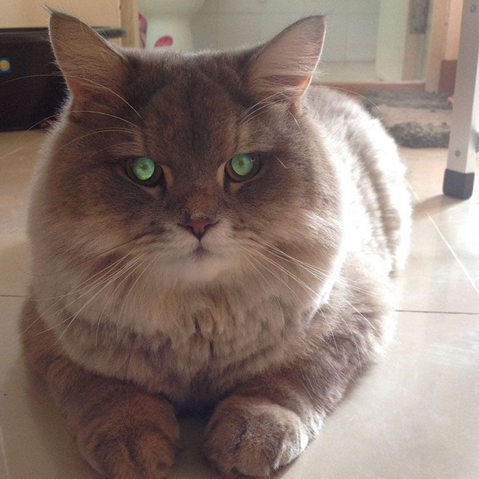 Meet Bone Bone The Enormous Fluffy Cat From Thailand That - This is bone bone the big fluffy cat from thailand the internet is falling in love with