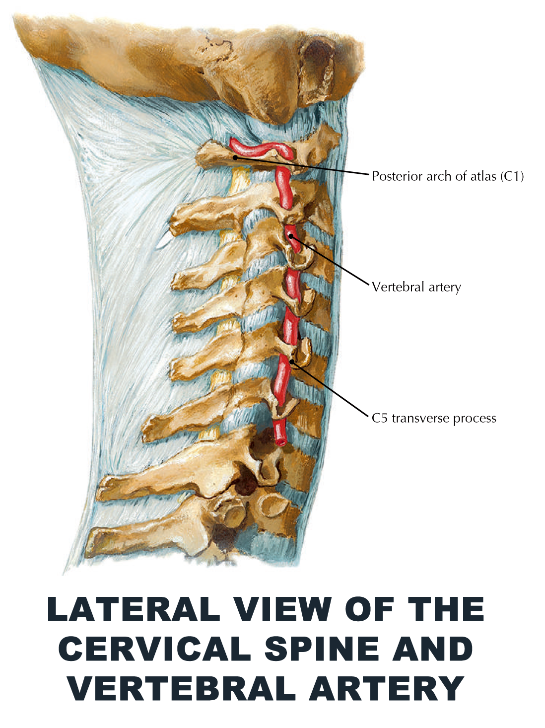 Lateral view of the cervical spine and vertebral artery - #anatomy ...