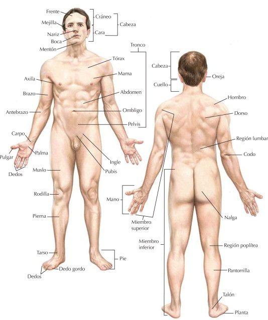 ANATOMÍA. estudio de la forma y estructura del cuerpo humano y de la ...