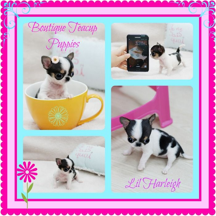 Adorable Teacup Chihuahua From Our Website She Is For Sale Teacup Chihuahua Puppies Teacup Chihuahua Teacup Puppies