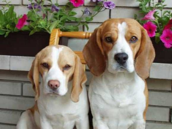 The Beagle On The Left Looks Like My Hunter Dog Only This One Is
