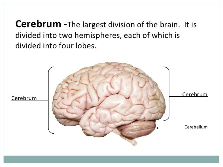 Cerebrum   Cerebral cortex, Human brain, Nerve cell