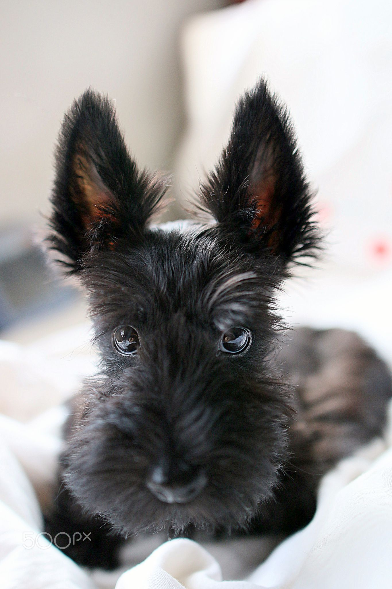 Scottishterrier Oldincredibly Adorable Months Puppy At At 3