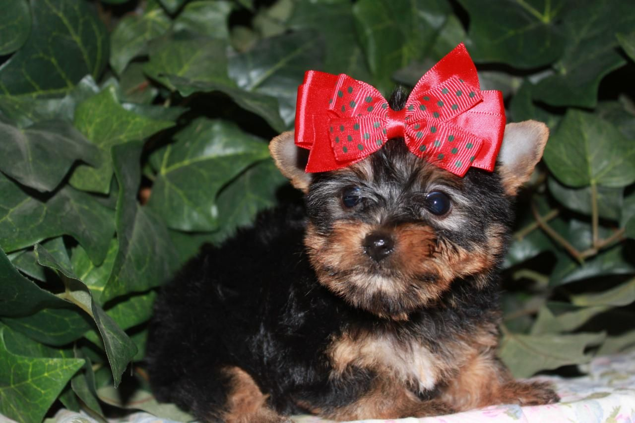 Our Teacup Yorkie Puppies For Sale Are Adorable Little Ones That Will Steal Your Heart Our Teacup York Yorkie Puppy For Sale Teacup Yorkie Puppy Yorkie Puppy