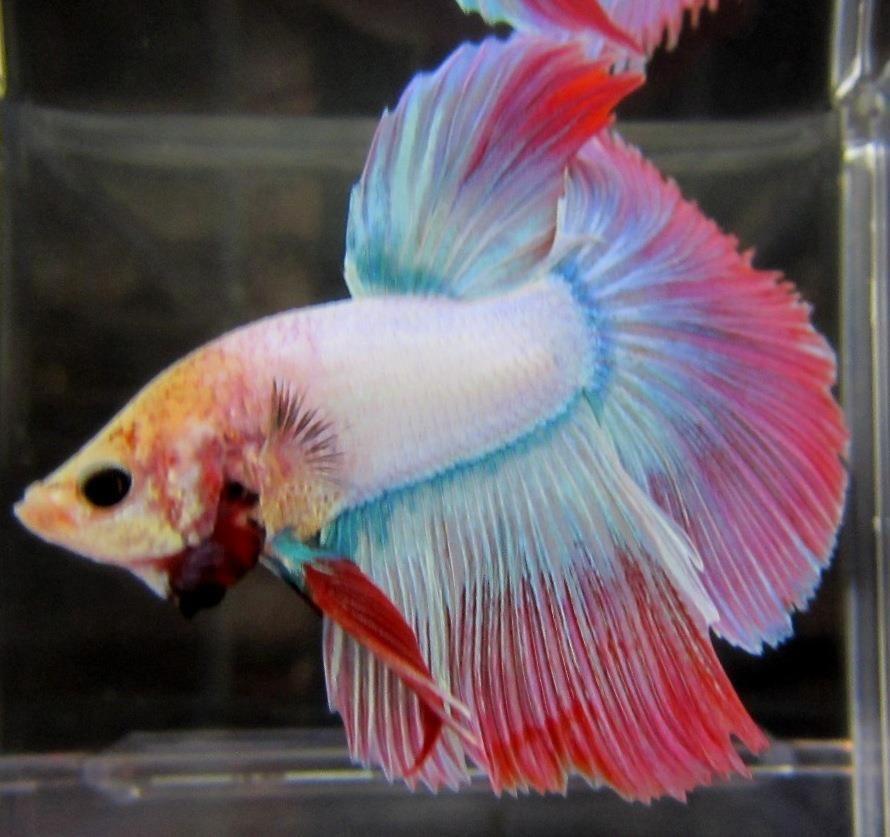 Half Moon Multi Color Betta Beautiful Betta Fish Betta Tropical Fish Aquarium