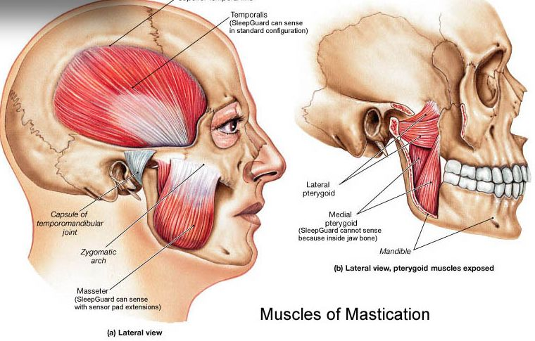 Illustration Of The Muscles Of Mastication The Muscles Of
